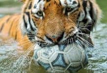 Tiger mom playing with soccer play
