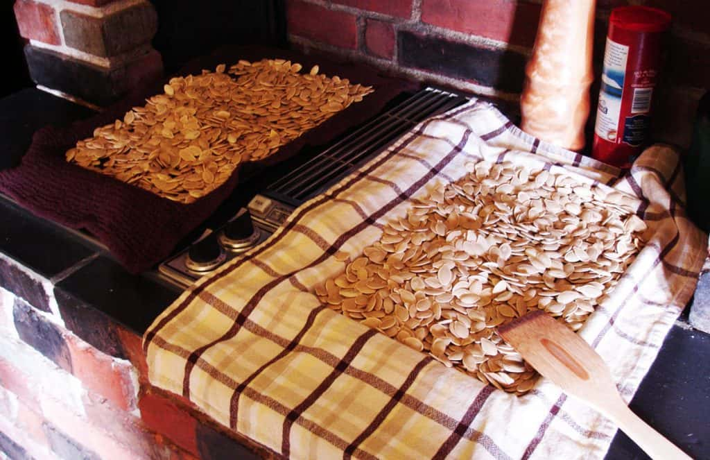 Pumpkin seeds drying on dish towels
