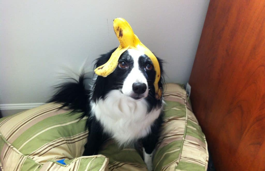 Collie dog with banana peel on head