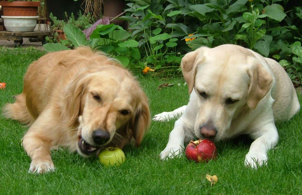 Lab and Golden dogs eating apples on the grass